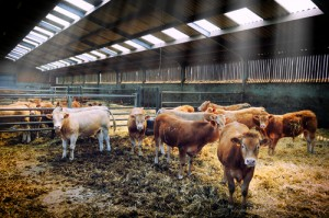livestock farms and IBD