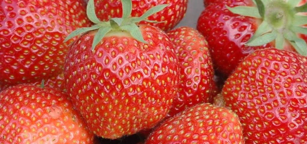 Eating Strawberries Reduces Colon Inflammation, Improves Gut Health in IBD Mouse Model